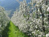 Apfelblütenwoche im mediterranen Meraner Land