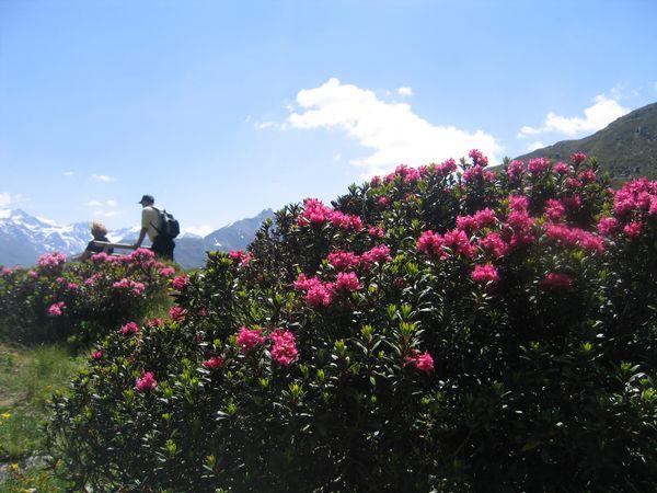 La fioritura delle Rose Alpine